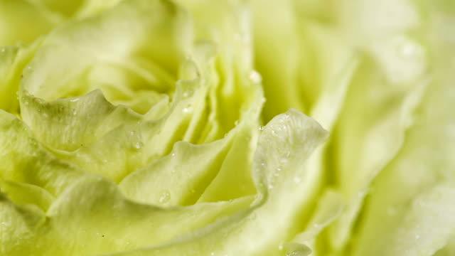 Rose Flower close up video