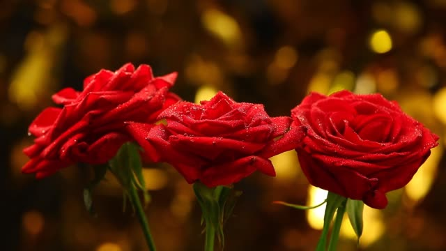 rose flower studio quality rose flower studio quality bunch stock videos & royalty-free footage