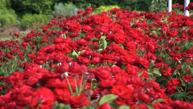 Rose garden video