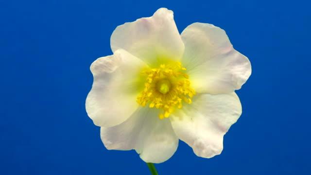 Rose hip flower blooming against black background