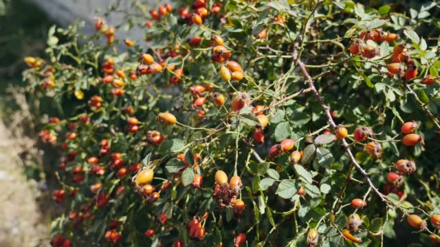 ちくちくした果物から腰を上げ、ローズヒップの木に熟し始めるバラの腰、 - イヌバラ点の映像素材/bロール