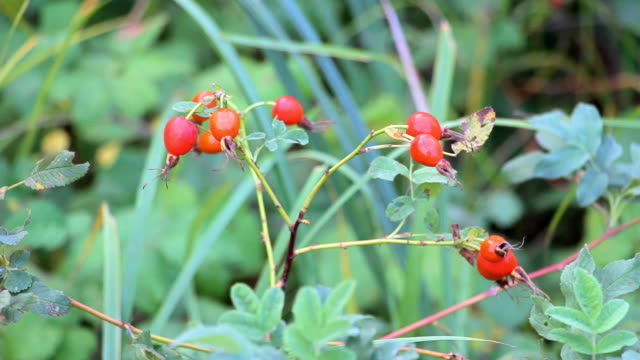 Rose hips shaken by wind video