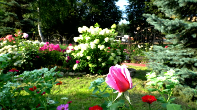 Rose in a city garden video