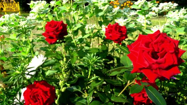 Rosa em um jardim da cidade - vídeo