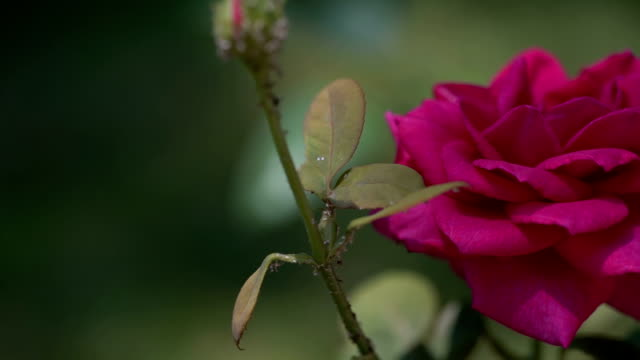 rose in the garden - full hd format video stock e b–roll