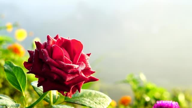 Rose in the garden.