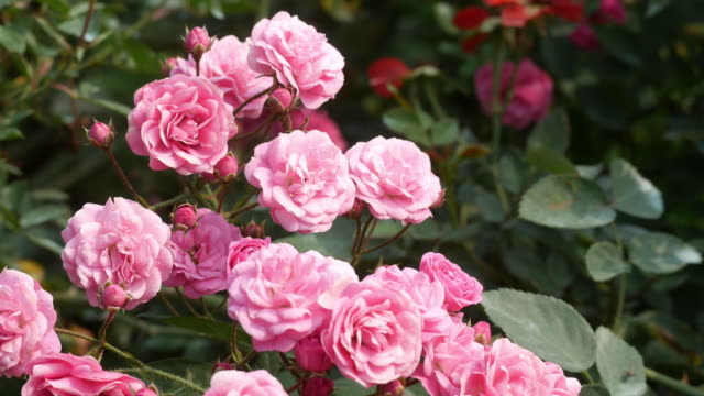 Rose Lets Celebrate blooming with clusters in a pink mauve blend video