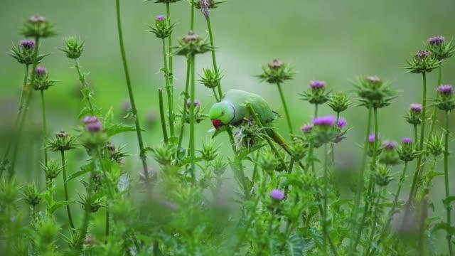 rose ringed parakeet karmienia na kwiat ostropestu plamistego - piękno natury filmów i materiałów b-roll
