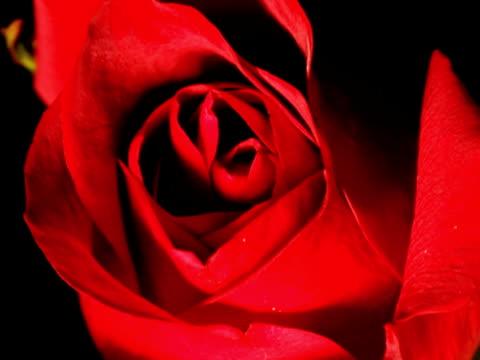 Rose SD video