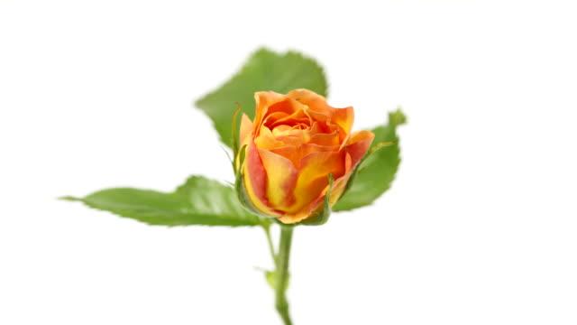 rose time lapse - white roses bildbanksvideor och videomaterial från bakom kulisserna