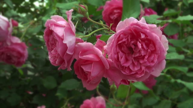 Rose #1 video