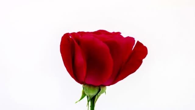 Rose video