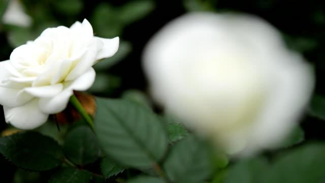 rose - white roses bildbanksvideor och videomaterial från bakom kulisserna