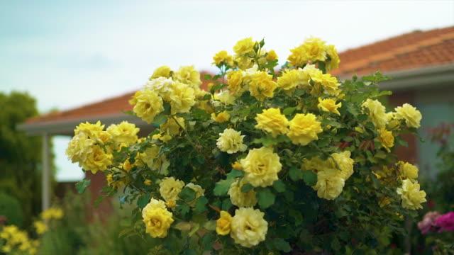 A rosebush full of yellow roses in bloom