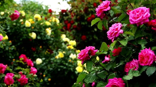 rosebush - куст стоковые видео и кадры b-roll