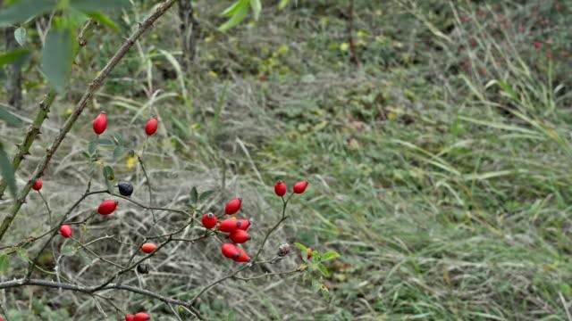 ローズヒップの枝が風に揺れる - イヌバラ点の映像素材/bロール