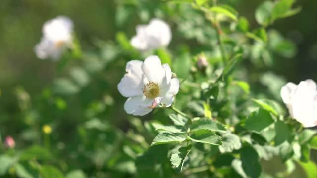 春の太陽の下でクローズアップで風の中でローズヒップの花 - イヌバラ点の映像素材/bロール