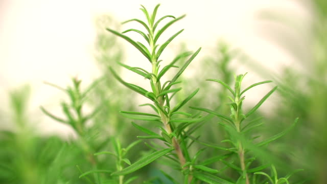 Rosemary Herb Close Up video