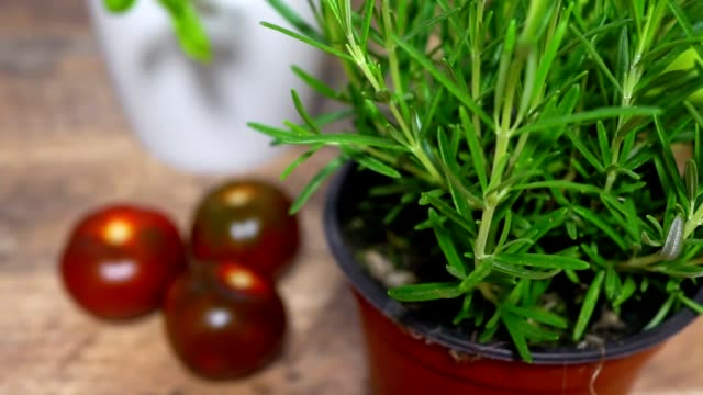 Rosemary herb in pot on the kitchen.