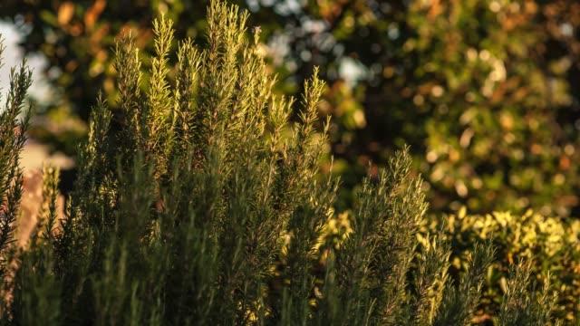 Rosemary plant detail 2