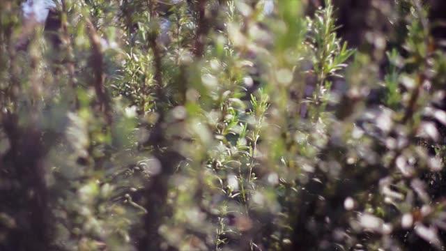 Rosemary plant detail 3