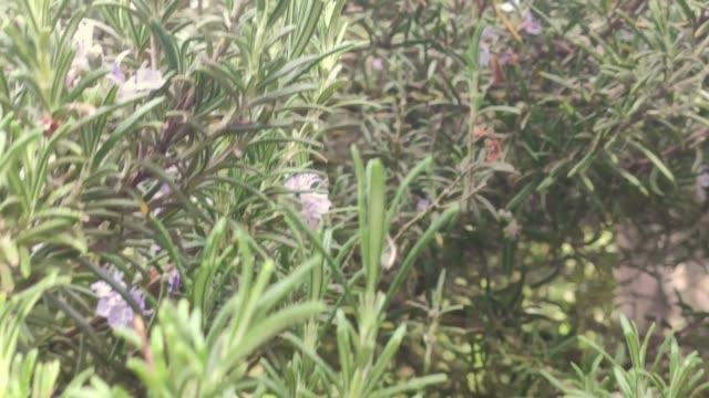 Rosemary plant detail 4