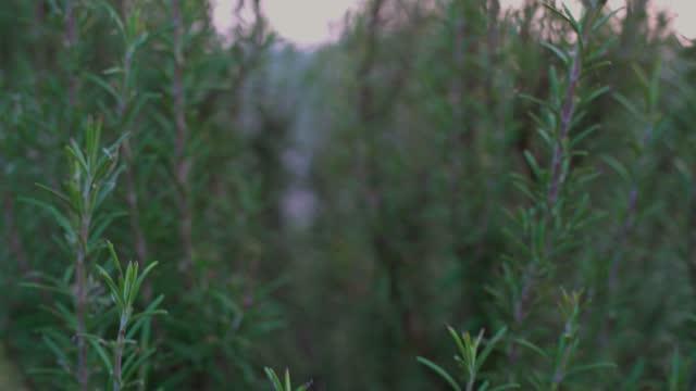 Rosemary plant detail