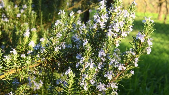 Rosemary plant in bloom in spring. Shot in 4K UHD.
