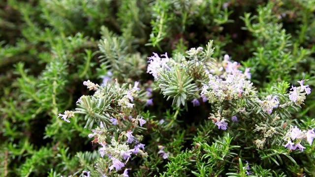 rosemary plant with purple flowers and fragrant leaves, plant that serves to flavor in the kitchen and also as a medicinal plant. video