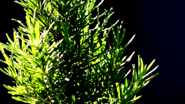 albero di rosmarino che gira al rallentatore - oli, aromi e spezie video stock e b–roll