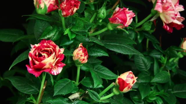 Roses blooming in arbust  HD video