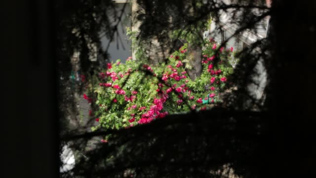 Roses Branches Pine and Rain video