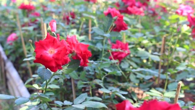 Roses in a Field Garden video
