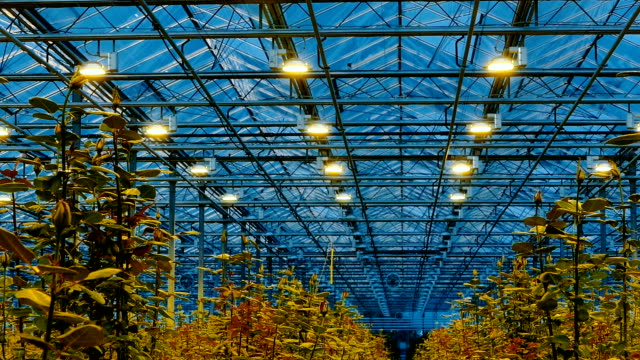 Roses in a greenhouse is illuminated by lights at night video