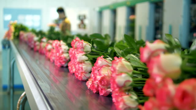 roses lying on a conveyor with human operators in the background. - orticoltura video stock e b–roll