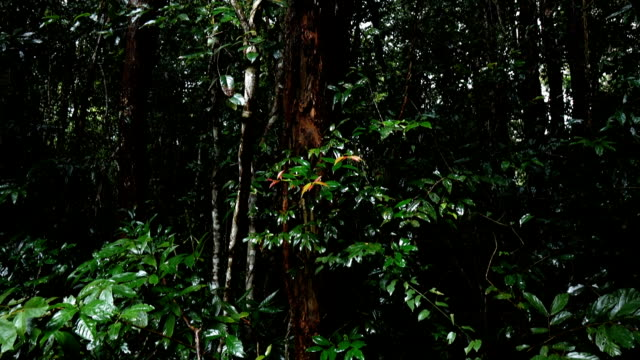 Rosewood tree in the forest video