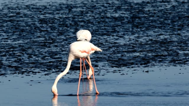 Rosy Flamingo colony in Walvis Bay Namibia, Africa wildlife beautiful Rosy Flamingo in Walvis Bay reservation, Namibia, Africa safari wildlife swakopmund stock videos & royalty-free footage