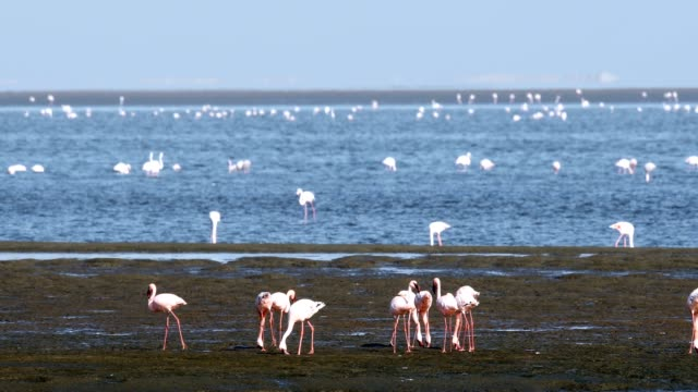 Rosy Flamingo colony in Walvis Bay Namibia, Africa wildlife beautiful Rosy Flamingo colony in Walvis Bay reservation, Namibia, Africa safari wildlife swakopmund stock videos & royalty-free footage