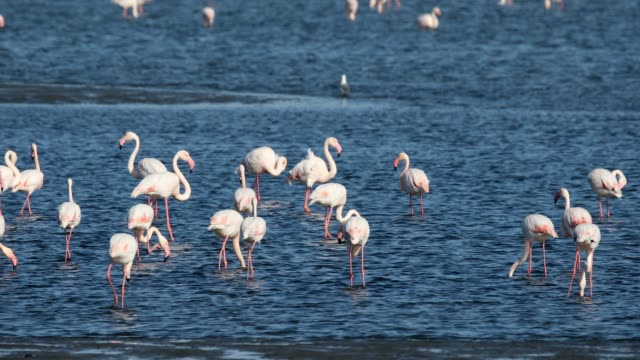 Rosy Flamingo colony in Walvis Bay Namibia flock of beautiful bird Rosy Flamingo, big colony in Walvis Bay reservation, Namibia, Africa Safari wildlife swakopmund stock videos & royalty-free footage
