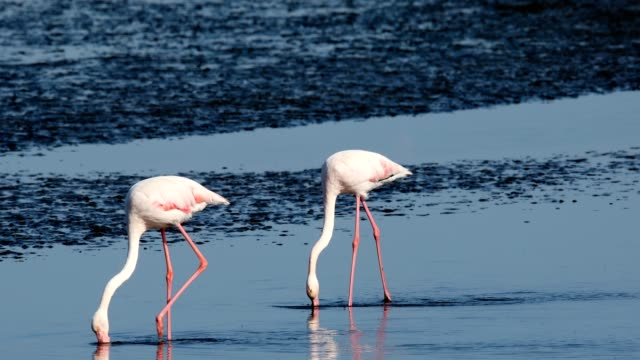 Rosy Flamingo colony in Walvis Bay Namibia beautiful bird Rosy Flamingo feeds in the mud by the shore, very big colony in Walvis Bay reservation, Namibia, Africa Safari wildlife swakopmund stock videos & royalty-free footage