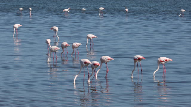 Rosy Flamingo colony in Walvis Bay Namibia beautiful bird Rosy Flamingo feeding in shallow water, big colony in Walvis Bay reservation, Namibia, Africa Safari wildlife swakopmund stock videos & royalty-free footage