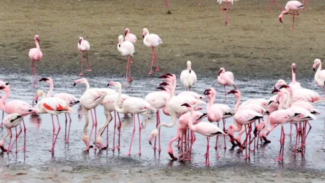 Rosy Flamingo colony in Walvis Bay Namibia Huge colony of Rosy Flamingo in Walvis Bay Namibia, overcast, True wildlife swakopmund stock videos & royalty-free footage