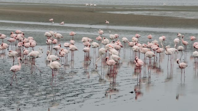 Rosy Flamingo colony in Walvis Bay Namibia Huge colony of Rosy Flamingo in Walvis Bay Namibia, overcast weather, wildlife swakopmund stock videos & royalty-free footage