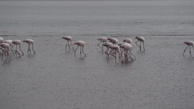 Rosy Flamingo (Phoenicopterus ruber ) in Walvis Bay reservation, Namibia, Africa, Safari wildlife Rosy Flamingo (Phoenicopterus ruber ) in Walvis Bay reservation, Namibia, Africa, Safari wildlife swakopmund stock videos & royalty-free footage