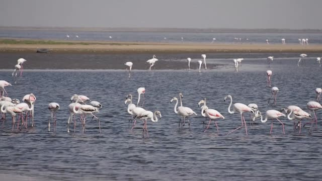 Rosy Flamingo in Walvis Bay reservation, Namibia, Africa, Safari wildlife Rosy Flamingo (Phoenicopterus ruber) in Walvis Bay reservation, Namibia, Africa, Safari wildlife swakopmund stock videos & royalty-free footage