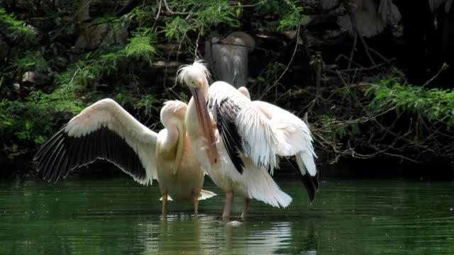 Rosy Pelican Rosy Pelican at a wetland. pelican stock videos & royalty-free footage
