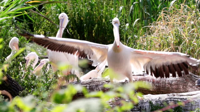 Rosy Pelicans lerning to fly Rosy Pelicans open the wings learning to fly pelican stock videos & royalty-free footage