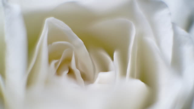 rotera makro närbild skott av vackra blommande vit ros blomma - blommönster bildbanksvideor och videomaterial från bakom kulisserna