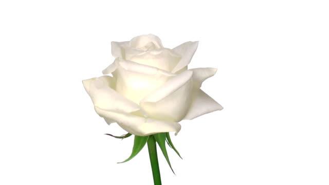 """rotating """"akito"""" rose isolated on white endless loop 1 - white roses bildbanksvideor och videomaterial från bakom kulisserna"""