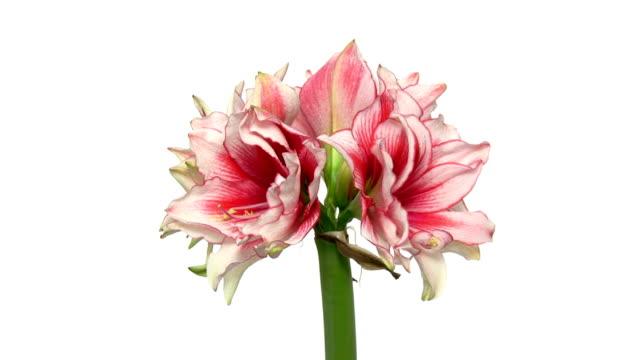 rotating amaryllis joker flower, endless loop 1 - amaryllis bildbanksvideor och videomaterial från bakom kulisserna